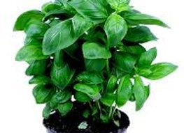 basilic pot (bio)