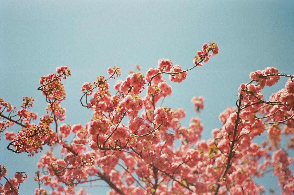 cherry blossoms_photo_by_Lea_Thomas.JPG