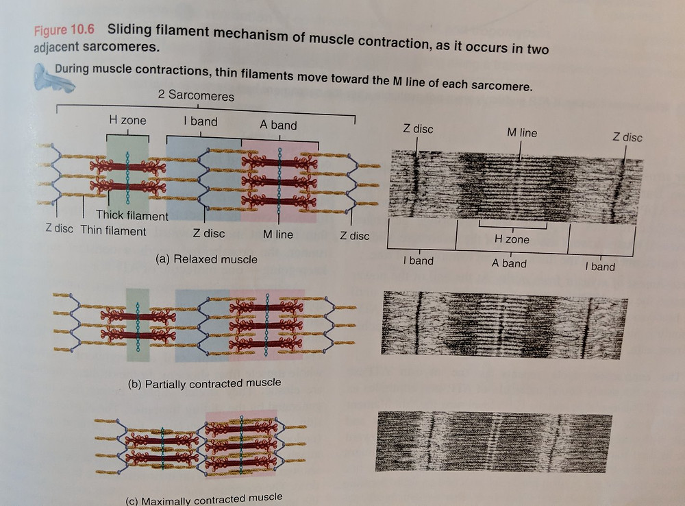 Relaxed and contracted muscle fibres