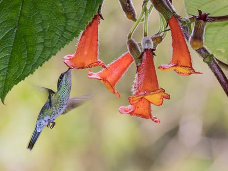 Trinkender Kolibri