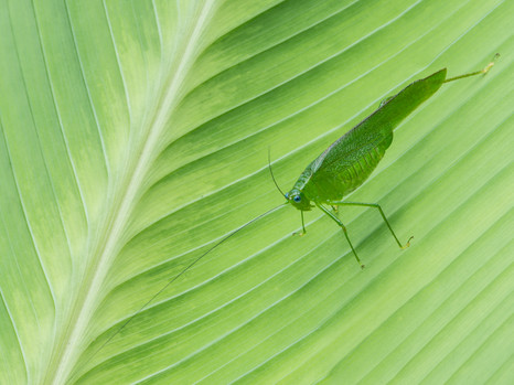Getarntes Insekt auf Palmblatt