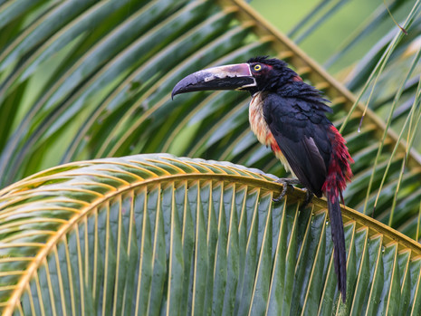 Tukan auf Palm-Ast