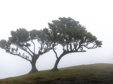 Lorbeerbäume im Nebel
