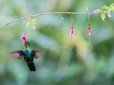 Kolibri beim Trinken