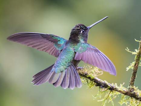Kolibri trocknet seine Federn
