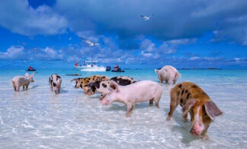 Group of pigs having fun at sea