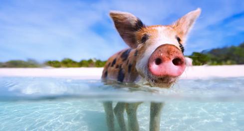 Pig at sea
