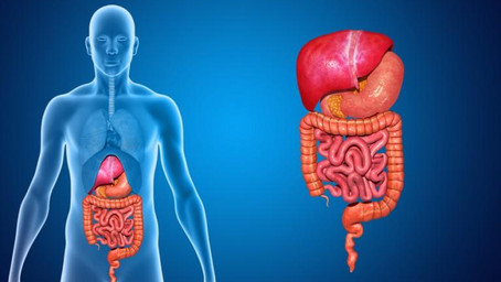 How Does The Human Digestive System Work?