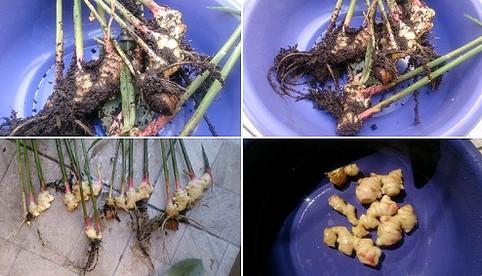 9 Passos para Plantar Gengibre em Vaso, a Super Especiaria da Culinária Indiana
