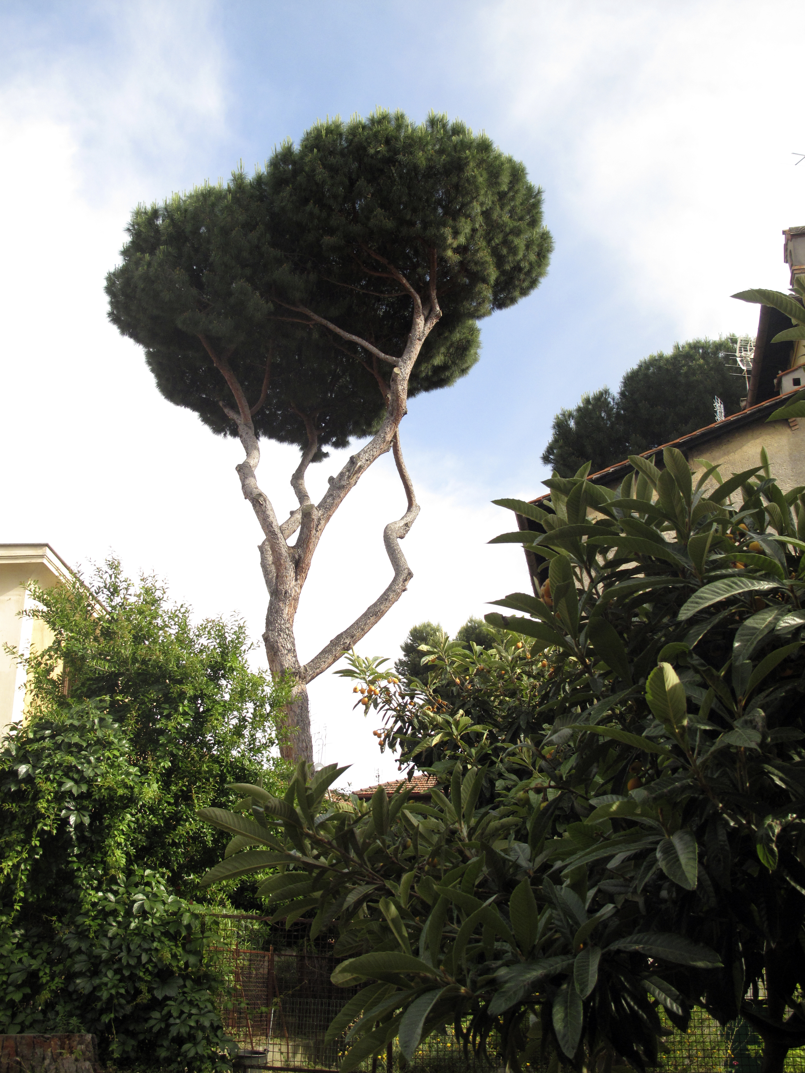 Umbrella Pine, Rome, Italy