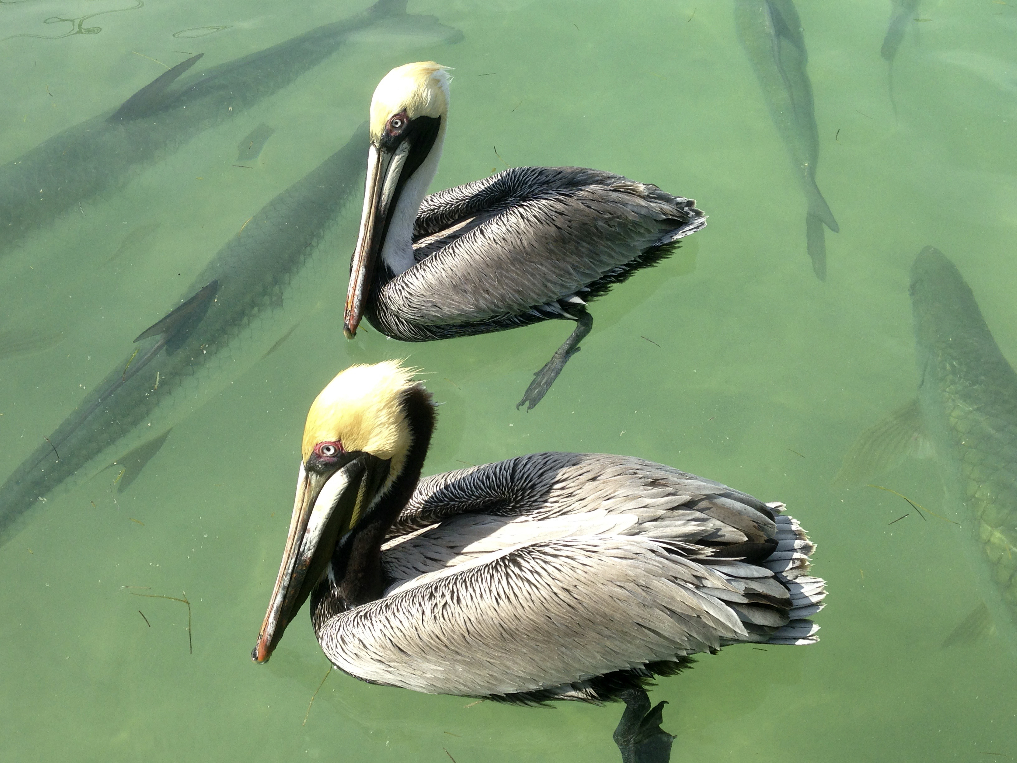 Pelicans and Tarpin, Florida Keys