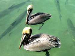 Pelicans and Tarpin, Florida Keys