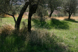 Olive grove, Corciano, Italy