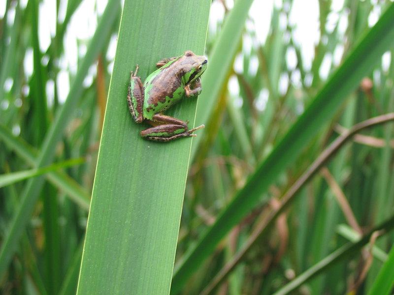 Frog Hyla regilla Tarplant Hill.JPG