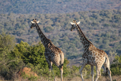 Two giraffes roam the South African landscape.