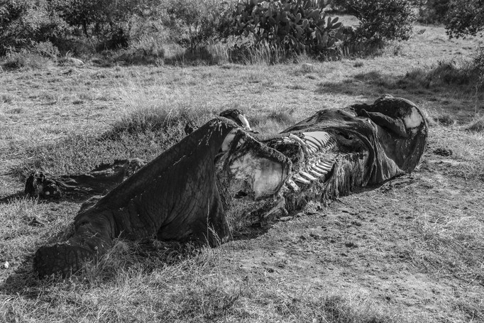 """An elephant dies an unnatural death from being labled """"problematic"""" by humans. Although poaching is the main reason African elephants are killed, they also run into other conflicts with humans"""
