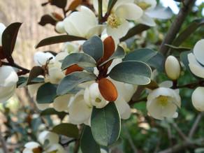 Magnolia laevifolia et autres magnolias arbustifs