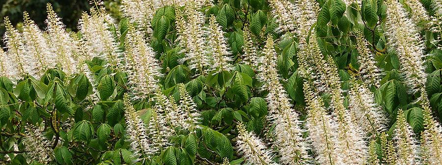 Aesculus%20parviflora%20(8)_edited.jpg
