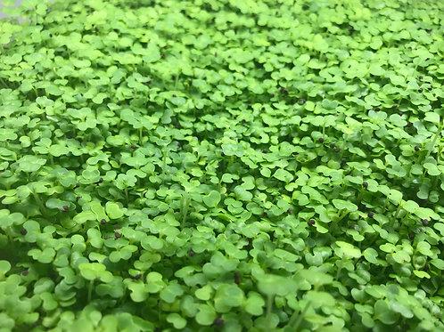 mizuna (japanese parsley) 50g