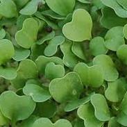 broccoli .jpg