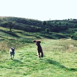 Grace and Frankie on an adventurous dog walk in Dunstable