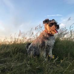 Frankie, Adventurous dog walk at Dunstable Downs
