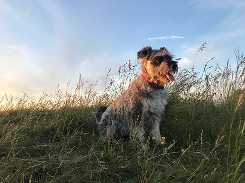 Sunset dog walk at Dunstable Downs, dog walker Waggie Tails in Dunstable and surrounding villages