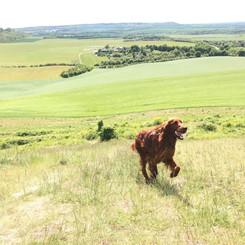 Adventurous dog walking at Dunstable Downs