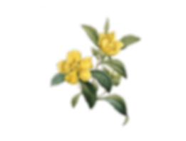 Flor Amarillo.png