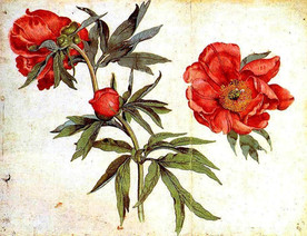 Botanical-Flower-Peonies-study.jpg