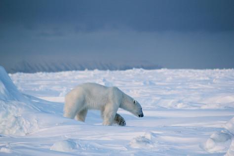 Já pensou em fazer um safari Polo Norte? Por André Lucchesi.