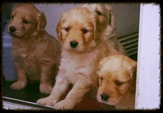 Lacey's pups at 5 weeks old