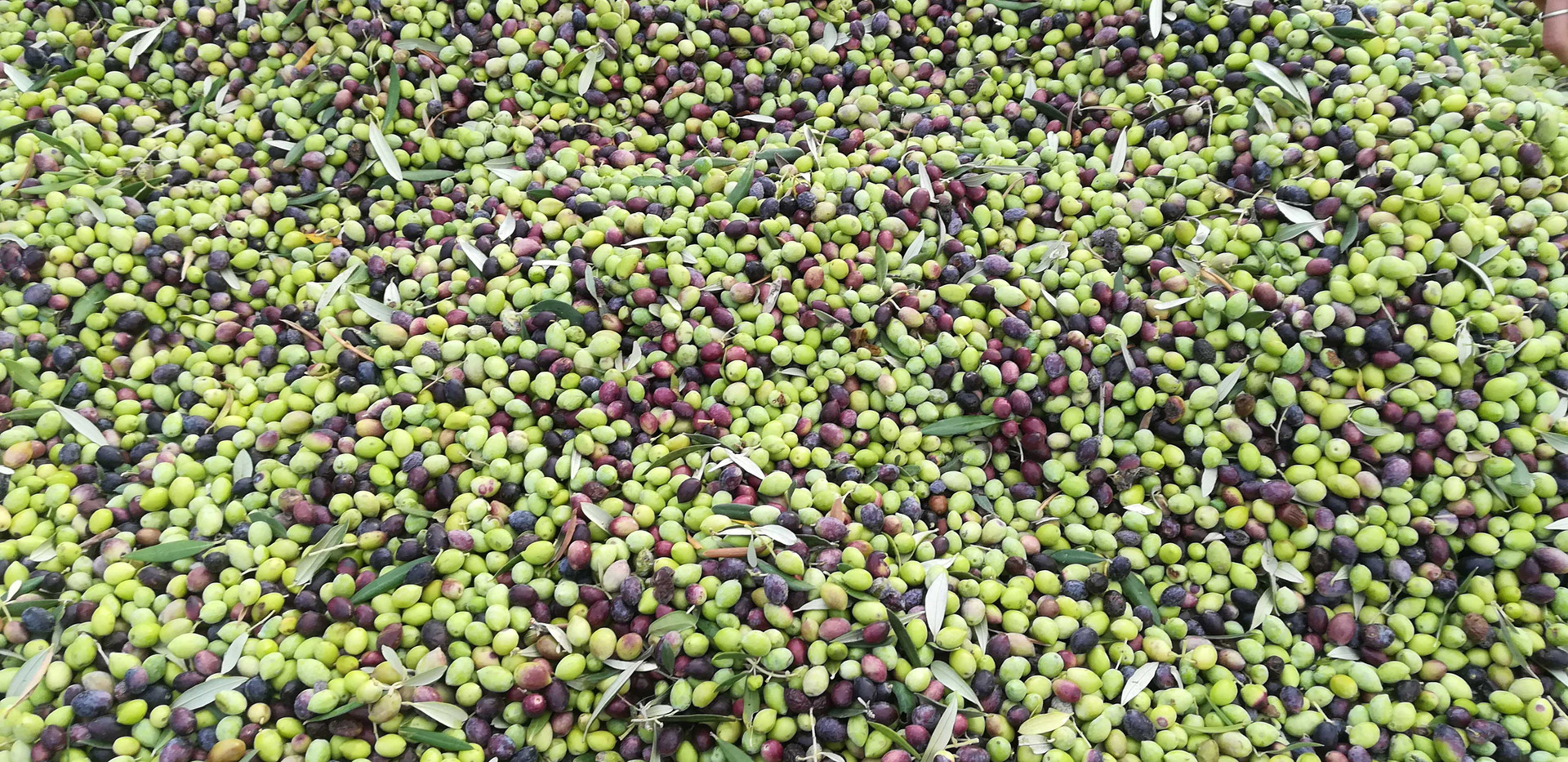 colourful-olives1.jpg