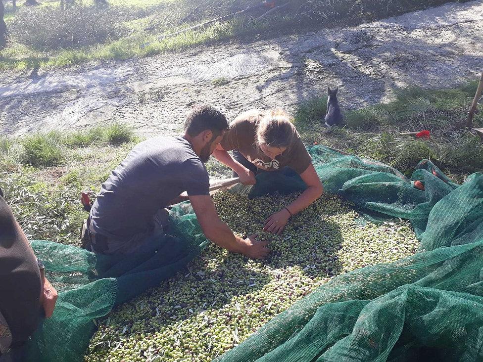 olivenernte-hand-r+v.jpg