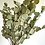 Thumbnail: Silver Dollar Eucalyptus