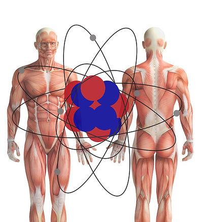 skeletal_muscle_Atome.jpg