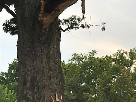 The Great Quercus Alba of Glover Park Cracks