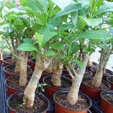 511-baobab-adansonia-5-l360-h360.jpeg