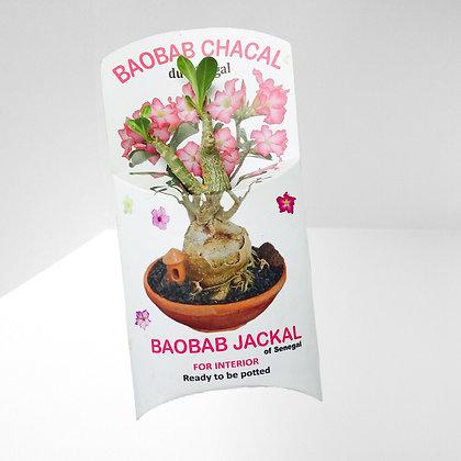 mini plante publicitaire Baobab