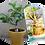 plante publicitaire baobab