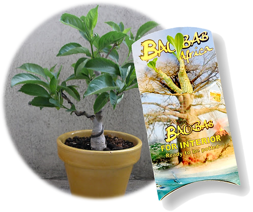 Mini plante Baobab Bonsaï L'ORIGINAL