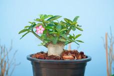 adenium-obesum-tree-desert-rose-flowerpot-show-nature-concept-45794605.jpg