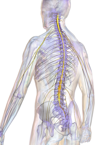 brain, spinal cord, chiropractor, health, function, nervous system