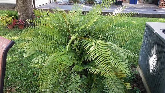 6.11.19 macho fern.jpg