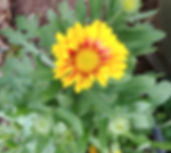 Gaillardia_×_grandiflora_.jpg