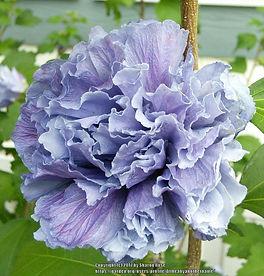 Althea Hibiscus syriacus blueberry.jpeg