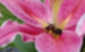 resized bee on flower.png
