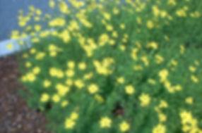 Moonbeam-coreopsis-plant-big-56a586285f9