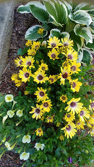 2018 yellow daisies with purple centers.
