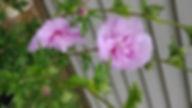 Lavender Rose of Sharon resized.jpg